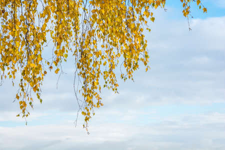 etude: Large branch of a birch tree with yellow leaves against the sky.