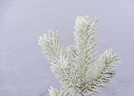 grey  sky: Pine branch covered with frost grey sky.