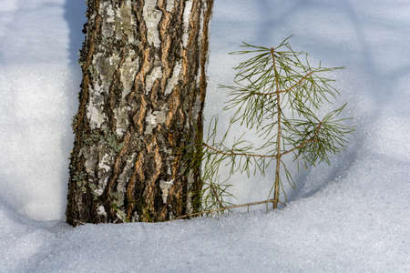 thawed: The trunk of an old birch and a young thin pine in the snow thawed.
