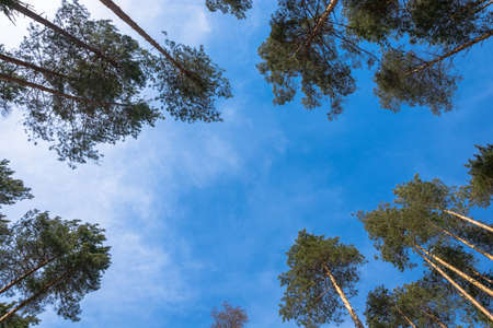 to go up: Tall trunks of pine trees go up into the blue sky. Stock Photo
