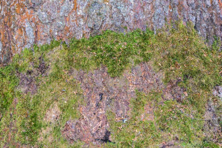 macrophoto: Colorful texture pine bark and green moss. Stock Photo