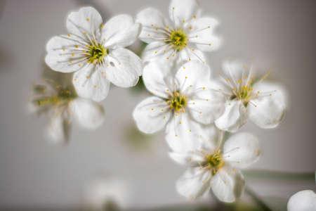 macrophoto: Cherry blossoms branch. Filmed closeup. Stock Photo