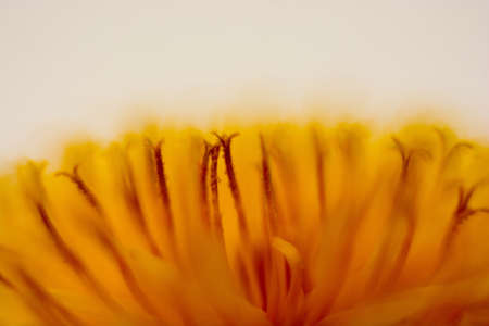 enchantment: Macro of a dandelion flower on a white background.