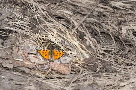 macrophoto: Beautiful orange butterfly on a grey last year39s grass.