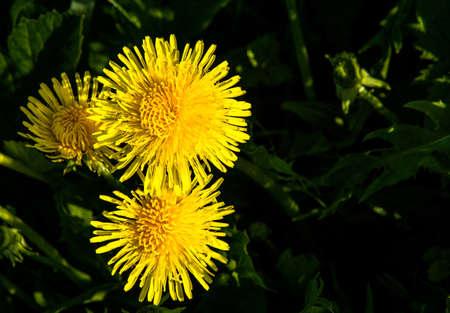 macrophoto: Bright yellow dandelions on a dark background.