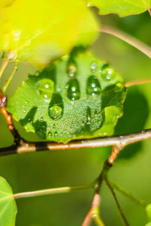macrophoto: Bright rain drops on the leaves of the trees. Close up photo. Stock Photo