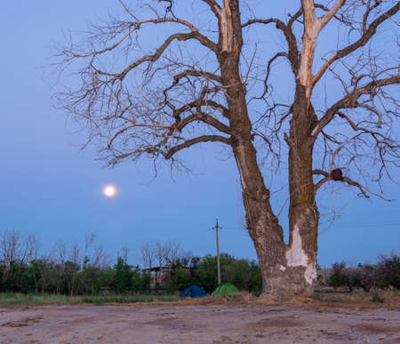 gloaming: Two travel tent under an old dead tree in the bright moonlight.