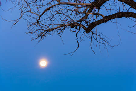 Full moon evening on the background of blue sky framed by the dry branch of a tree.