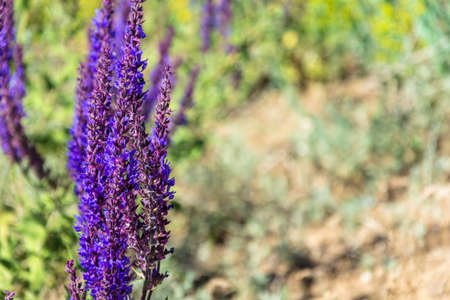 officinal: Flower sage forest close-up shot of a colourful blurred background.