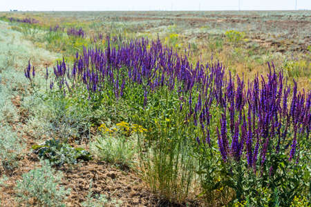 officinal: Large thickets of sage in the Astrakhan steppes in summer Sunny day.
