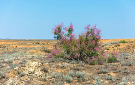 spaciousness: Lone large Bush with pink flowers against the yellow of the desert and the blue sky. Stock Photo