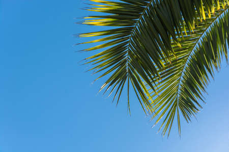yellowing: Yellowing leaves of palm tree on background of blue sky backlit. Stock Photo