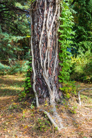 macrophoto: Light vines climb the thick trunk of a tree in Sochi Park-the arboretum.