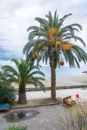 Lying on the bench a lion under a palm tree on the waterfront in Gagra, Abkhazia.