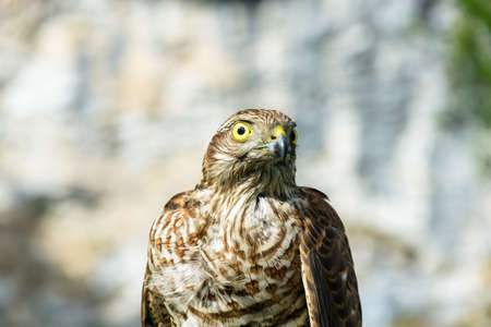 steadfast: Photo of the hawk close up on blurred background.