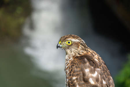 raptorial: Photo of the hawk close up on blurred background.