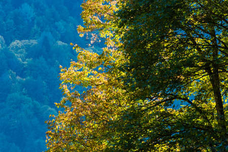 etude: Autumn etude with bright yellow leaves in the Caucasus mountains, Abkhazia. Stock Photo