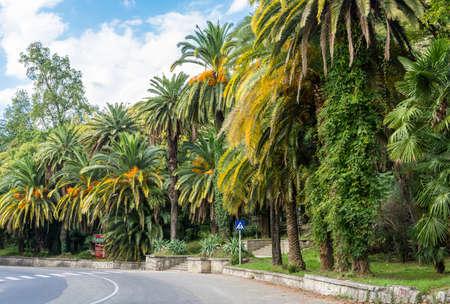 yellowing: Autumn yellowing of palms in Gagra, Abkhazia.