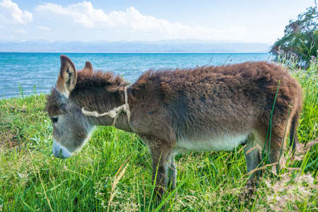kyrgyzstan: A cute little donkey on the shore of lake Issyk-Kul on a Sunny summer day.