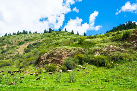 kyrgyzstan: Flock of sheep grazing on a hillside on a Sunny summer day, Kyrgyzstan.