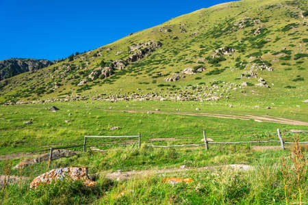 Large flock of sheep on a green mountain slope in summer Sunny day, Kyrgyzstan.