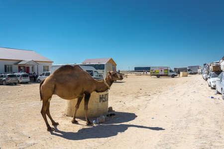 Kazakhstan - August 22, 2016: Camel walks along a convoy on 22 August 2016 at the customs point, Kazakhstan.