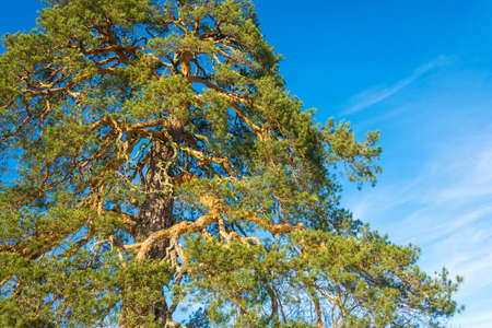 Mighty branched crown of an ancient 500 year old pines against the blue of the sky.