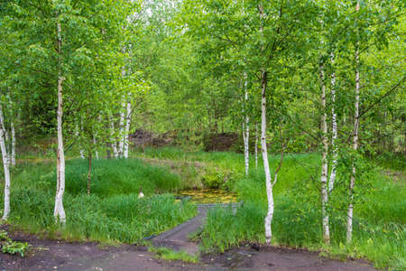 sacred source: Sacred Stream source among young white-trunked birches in the Makariev district, Kostroma region, Russia. Stock Photo