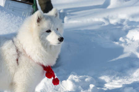 A beautiful white fluffy white Samoyed dog with a red collar.