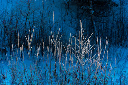 Small branches of a bush covered with hoarfrost on a dark blue background. Фото со стока