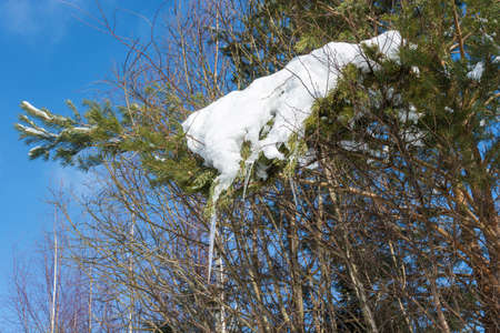A green pine branch covered with snow with icicles on a winter sunny day. Фото со стока
