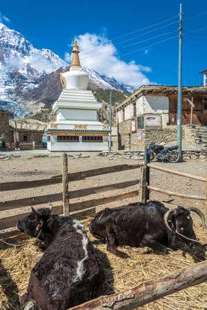 Manang village in the Himalayas, Nepal-05.04.2018: two lying Buffalo and white stone Buddhist stupa on April 5, 2018 in the mountain village of Manang in the Himalayas, Nepal.