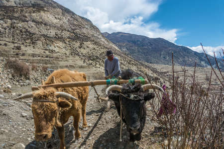Manang village in the Himalayas, Nepal 04052018: Man plows field with two Buffalo 5 April 2018 in the mountain village of Manang in the Himalayas, Nepal. Фото со стока