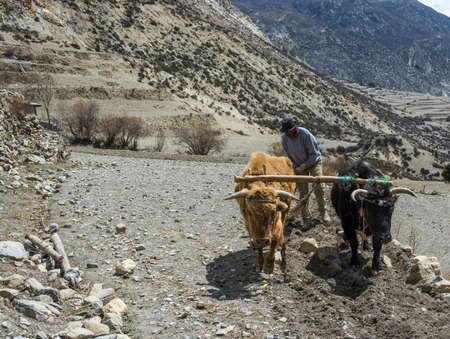 Manang village in the Himalayas, Nepal-05.04.2018: Man plows field with two Buffalo 5 April 2018 in the mountain village of Manang in the Himalayas, Nepal.