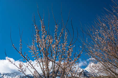 Blooming tree against blue sky and white clouds in the Himalayas, Nepal. Фото со стока