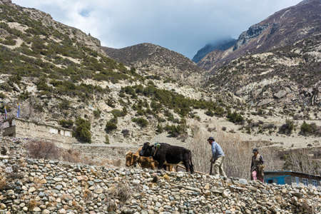Manal village in the Himalayas, Nepal-04052018: a Man and a woman plowing a field with two Buffalo 5 April 2018 in the mountain village of Manang in the Himalayas, Nepal.