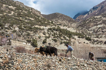 Manang village in the Himalayas, Nepal-05.04.2018: a Man and a woman plowing a field with two Buffalo 5 April 2018 in the mountain village of Manang in the Himalayas , Nepal.