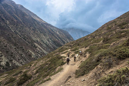 Four horses carry cargo on a mountain trail on a cloudy spring day in the Himalayas, Nepal.