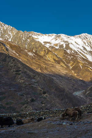 Big hairy yaks high in the Himalayan mountains on spring day, Nepal.