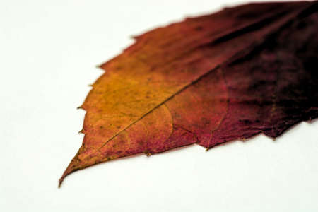 Dry burgundy-yellow leaf on a white background. Photographed close-up.