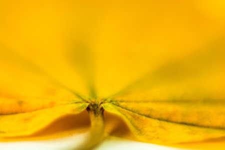 A bright beautiful large yellow leaf, shot close-up. Фото со стока