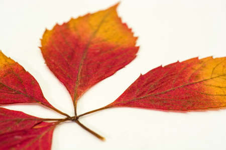 A branch with bright red leaves on a white background. Photographed close-up. Фото со стока