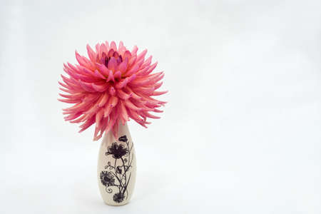 Large pink dahlia flower in a small vase on a light background. Фото со стока