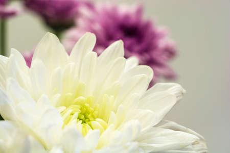 White and purple chrysanthemum on grey background. Close-up shot. Фото со стока
