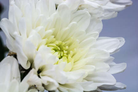 White chrysanthemum with a yellow heart on a blue background. Close-up shot.