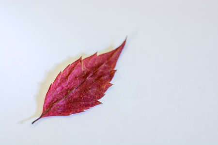 Bright Burgundy leaf on grey background. Close-up shot.