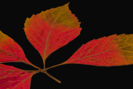 A branch with bright red leaves on a black background. Photographed close-up.