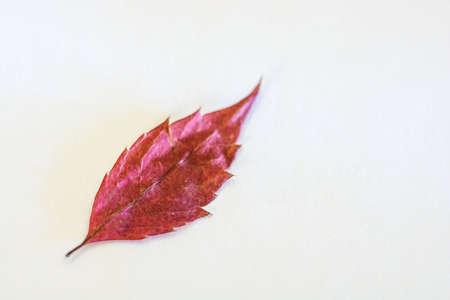 Bright Burgundy leaf on gray background. Close-up shot.