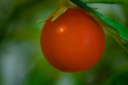 Bright orange fruits nightshade decorative close-up.