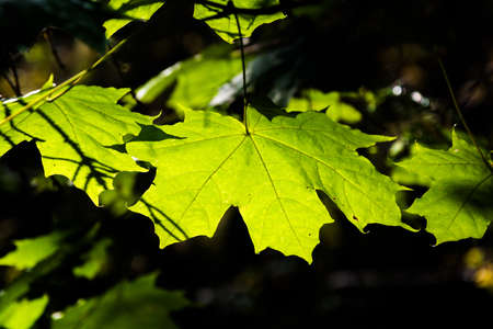 Bright green maple leaves in a contrasting light close-up.